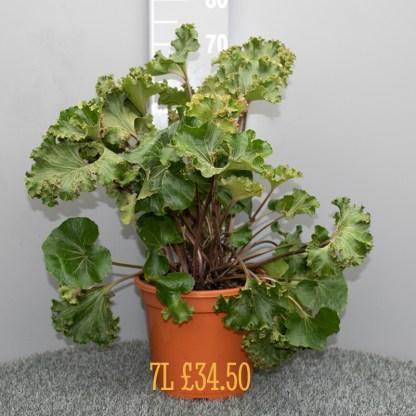 Farfugium japonicum 'Crispatum' mature 7 litre plant