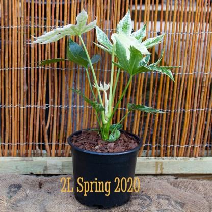 Fatsia japonica 'Spiders Web' 2 litre plant