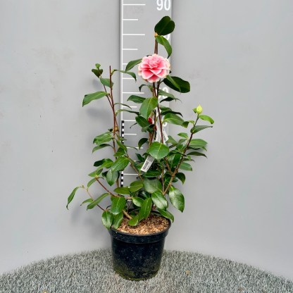 Camelia 'Look Away' 4 litre plant
