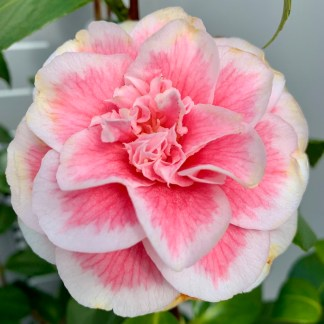 Camellia 'Look Away' flower close-up