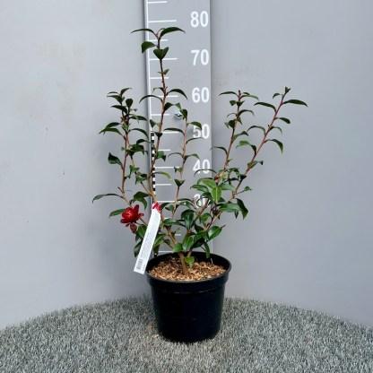 Camellia 'Night Rider' 4 litre plant