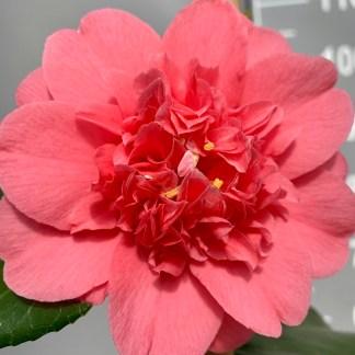 Camellia chandleri 'Elegans' flower