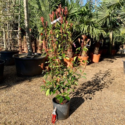 Photinia 'Red Robin' 9.5 litre