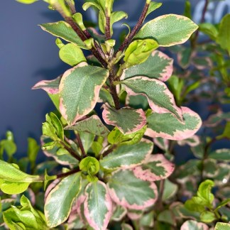 Pittosporum 'Elizabeth' leaf close-up