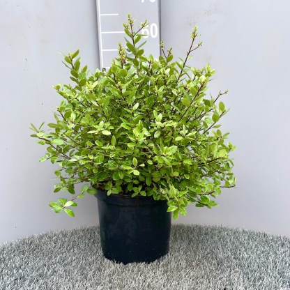Pittosporum 'Golf Ball' 5litre plant