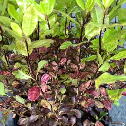 Pittosporum 'Tom Thumb' leaf close-up at Big Plant Nursery