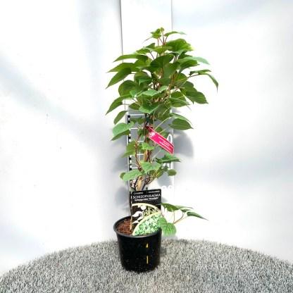 Schizophragma hydrangeoides 'Moonlight' 2 litre plant