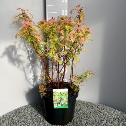 Sorbaria 'Sem' 10 litre plant