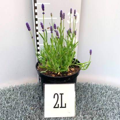 Lavandula 'Hidcote' 2 litre plant