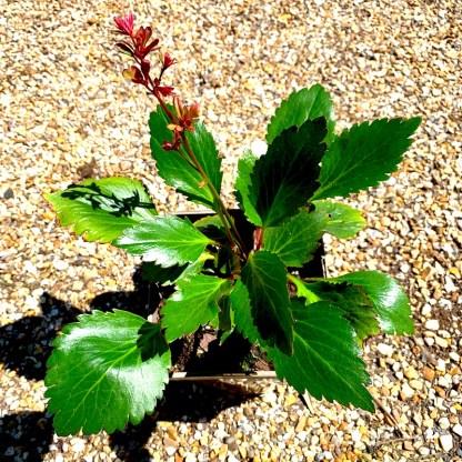 Mukgenia 'Nova Flame' at Big Plant Nursery