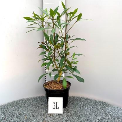 Pseudopanax lessonii 'Dark Star' 3 litre plant