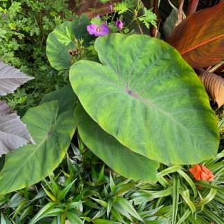 Colocasia 'Sangria' mature plant in summer at Big Plant Nursery