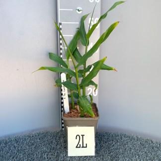 Hedychium 'Tai Conch Pink' 2 litre plant