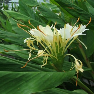 Hedychium chrysoleucum close up of flower at Big Plant Nursery