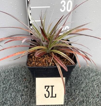 Astelia 'Red Shadow' 3 litre plant at Big Plant Nursery