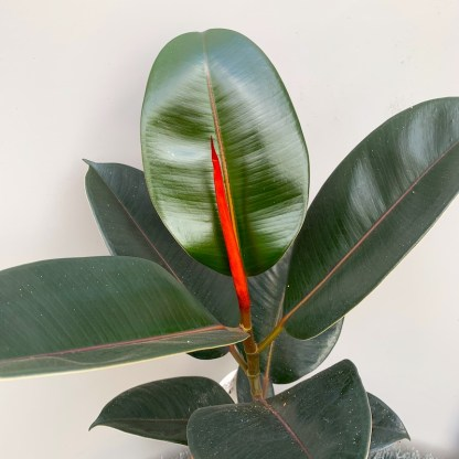 Ficus elastica 'Abidjan' close up of new growth and leaves at Big Plant Nursery