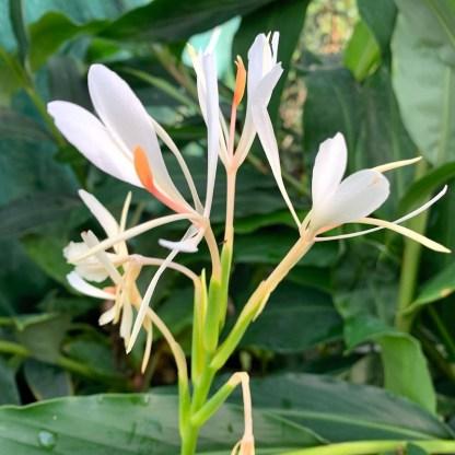 Hedychium yunnanense flower at Big Plant Nursery