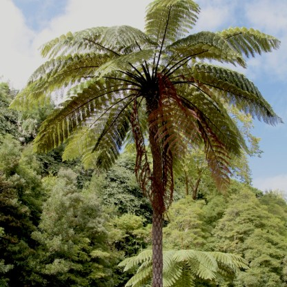 Cyathea cooperi mature plants growing in the Azores