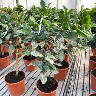 Citrus hystrix Kaffir Lime 6 litre plants growing at Big Plant Nursery