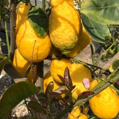 Citrus limon ripe lemons on tree