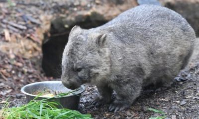 Scientists reveal the reason behind cube shaped wombat poop