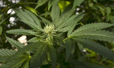 Legal Pot Could Be Next Move for Marlboro Maker