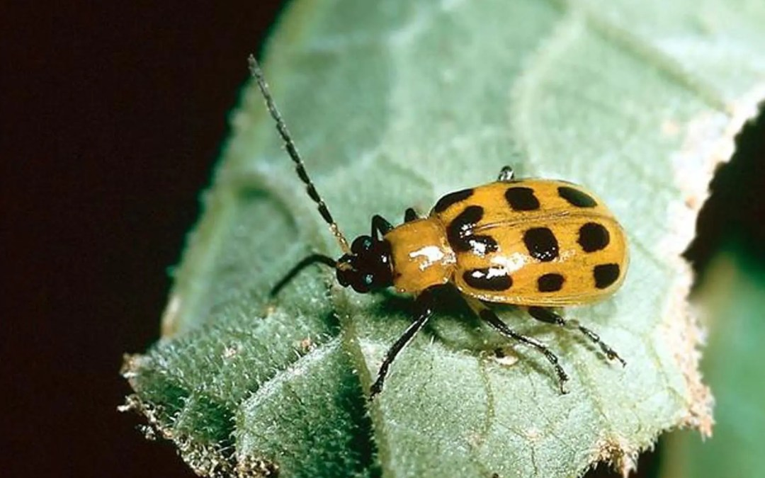 Cucumber Beetle & Bacterial Wilt