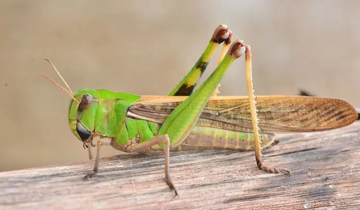 Steps For Successfully Controlling Grasshoppers!