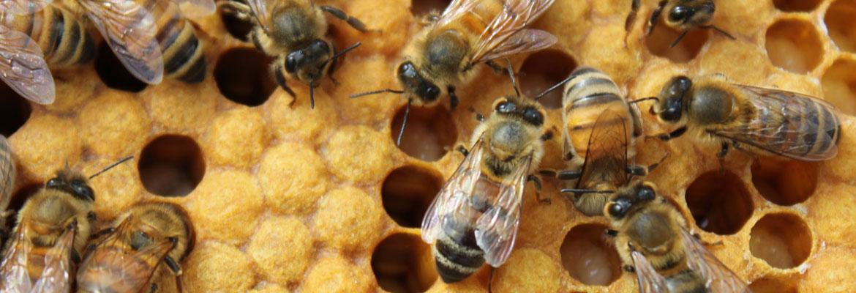 Bijen en hun omgeving – Bijen en de Imker
