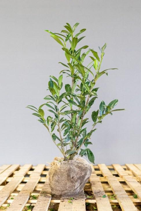 Haagplanten laurierkers, laurierhaag