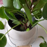 pannekoekenplant stekken
