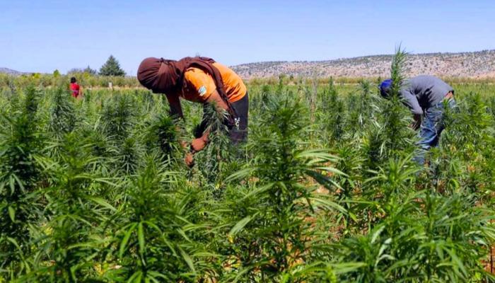"""هل سيلغي تقنين زراعة """"الكيف"""" بالمغرب المتابعات القضائية لمزارعيه؟!"""