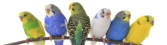 Muhabbet Kuşu Ne Yemeyi Sever?