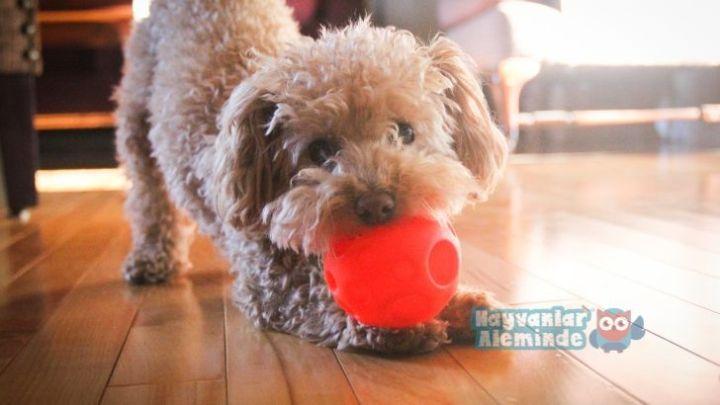 Kaniş Köpek Özellikleri ve Bakımı