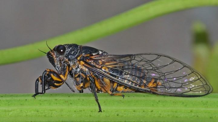 Ağustos Böceği Hakkında Bilgiler