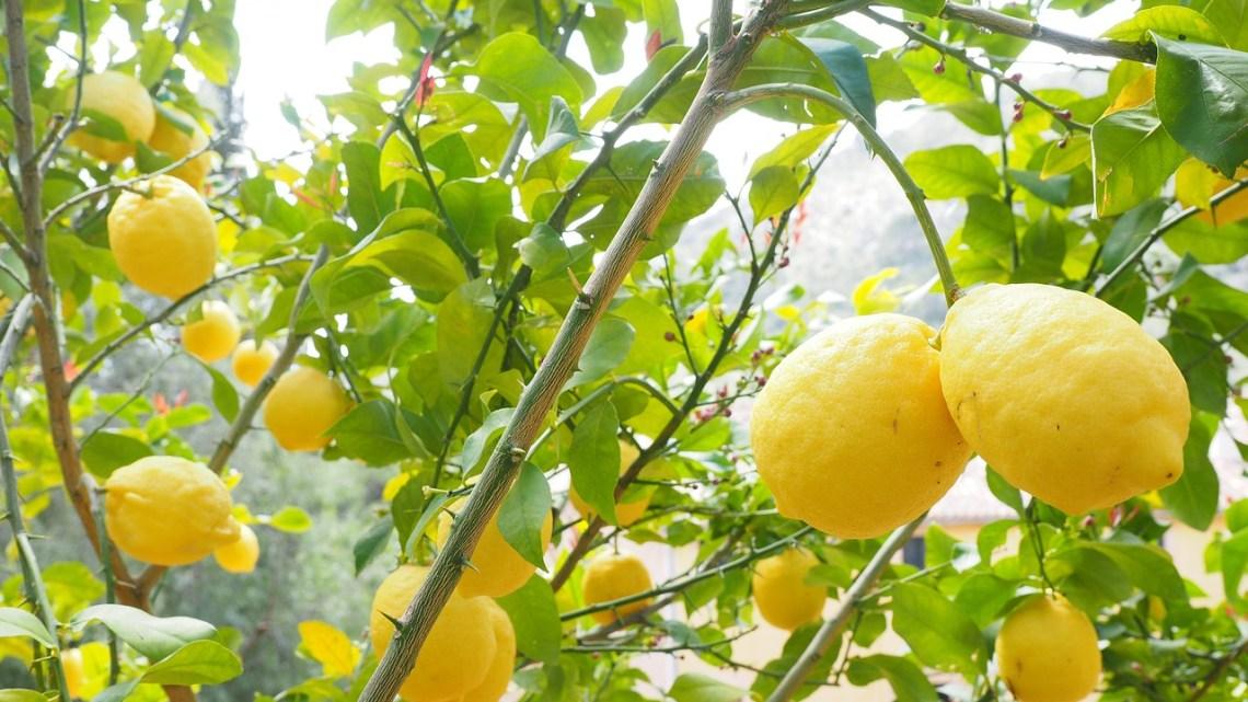 Limon Hangi Mevsimde Yetişir ?