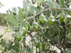 5601 jojoba nedir 300x225 - What Is Jojoba Oil? What Are The Benefits?
