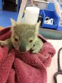 yavru koala