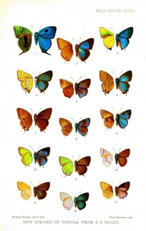 brezilyada tanımlanan bir çok kelebeğin arkalı ve önlü çizimleri