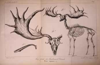 Geyik iskeleti, kafa ve boynuzun detaylı çizimi