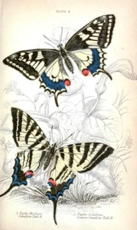 Kırlangıç kuyruk kelebek ve erik kırlangıç kuyruk kelebek