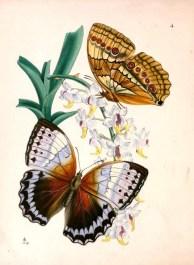 İki farklı kelebek türü
