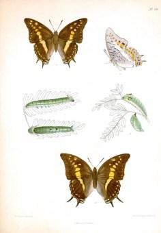Erişkin kelebekler, tırtıllar ve pupaları gösteren çizimler