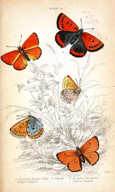 kırmızı turuncu mavi gibi renklerde olan Lycaena kelebek türleri