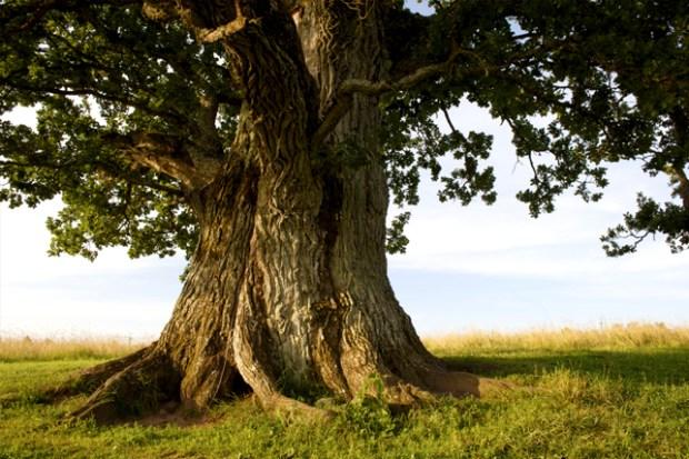 Yaşlı Kadın ile Meşe Ağacı