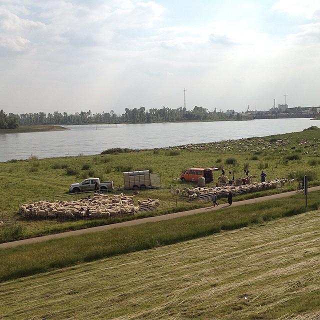 Heute geht es den Schafen am Rheindeich so richtig an die Wolle :-)