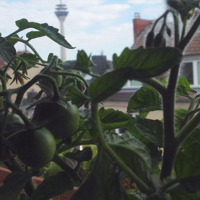 Tomaten auf der Fensterbank zu ziehen ist echt entspannend :-)