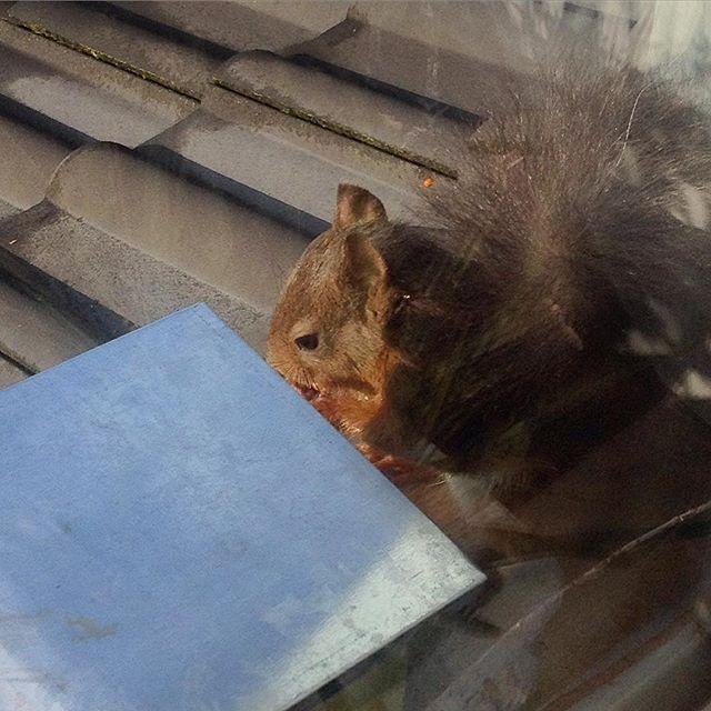 Boah, jetzt erst mal kurz in der Sonne ausruhen und sich eine kleine Nuss zur Stärkung gönnen :-) PS. Das Eichhörnchen baut und polstert schon den ganzen Vormittag seine Winterkobel aus... Wird wohl doch Herbst.