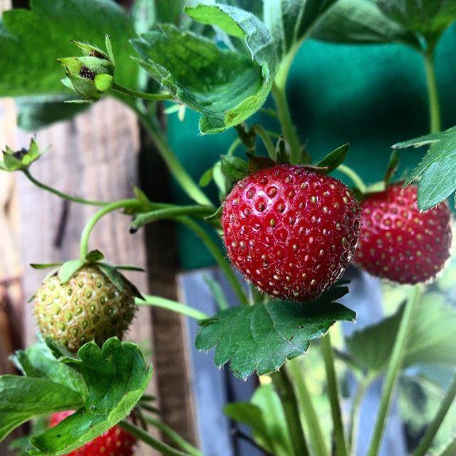 Der tägliche Blick über die eigene 'Erdbeer Hazienda' auf'm Balkon :-) Keine Ahnung warum - aber die eigenen Beeren, Kräuter und Bohnen (Salat und Tomaten brauchen noch was) schmecken einfach besser...