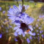 Bunte Wegrandbegrünung als Freßmeile für Insekten